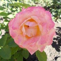 Роза Святогорья :: Викторина Срыбна