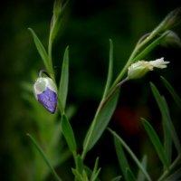 Цветочек льна осенним утром :: Lilek Pogorelova