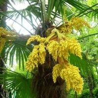 Сочи. Пальма в цвету :: татьяна