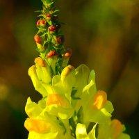 Дикий цветок :: юрий Амосов