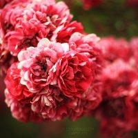 цветы эфемерны :: Алёна Дягелева