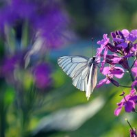 бабочка :: Алиса Садыйкова