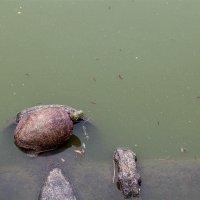 Черепаха :: Sergei Khandrikov