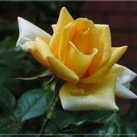 Жёлтая роза - эмблема печали... :: Ольга Прилуцкая