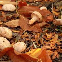 Осенние грибы :: Екатерина Аматова