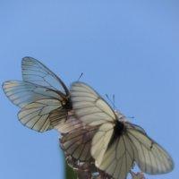 Бабочки :: Александра Вертгейм