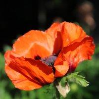 Цветочек аленькай... :: Альбина Хамидова