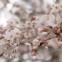 Цветение сакуры :: Nataliya Barinova