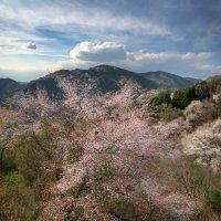 Цветение сакуры в горах :: Nataliya Barinova