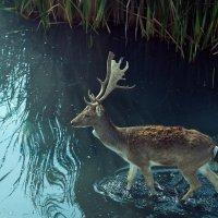 Олень на водопое :: Александр Лядов