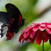 Бабочка на цветке :: Александр Лядов