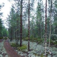лес Карелии :: Андрей Гликман