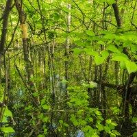 Лесное болотце :: Карина Гусарева