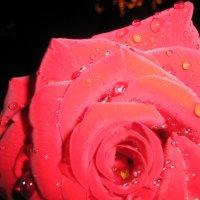 каплями росы по розе :: Ника Чехова