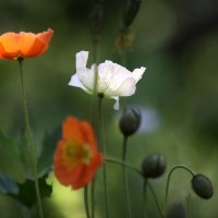 Среди сомлевших трав... :: Анна Корсакова