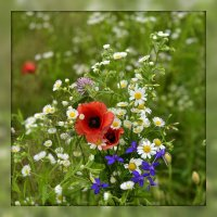 Полевые цветы :: Владимир ЯЩУК