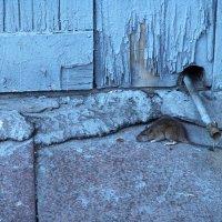 Крыса на голубом :: Павел Myth Буканов