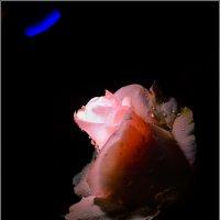 Роза красная цвела... :: antip49 antipof