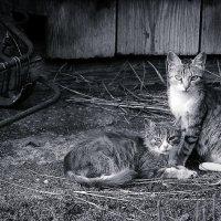 коты на сене :: Виктория Шинкаренко