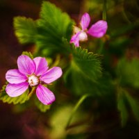 Морошка цветёт.... :: Margarita Shrayner