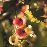 В саду смородина созреет скоро.... :: Елена Kазак