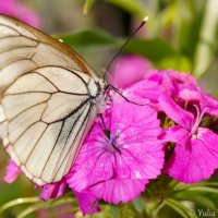 Butterfly on a flower. :: Yulia Konovalova
