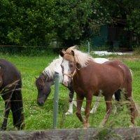 Pferd :: Schumacher Peter