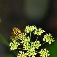 Пчелка :: Алла Арестова