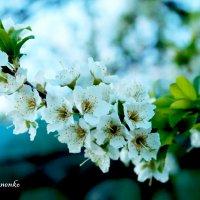 Вишня в цвету) :: Кристина Иваненко