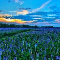 Цветущие поля Тамбовской области :: Дмитрий Илюхин