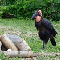 Кафрский рогатый ворон. :: Ольга