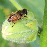 Пчёлка :: Татьяна Наркевич