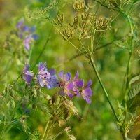 полевые цветы... :: Виктория Колпакова