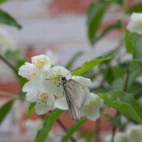 Бабочка :: Сергей Данченко