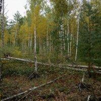 Осенний лес. :: Юрий Бичеров