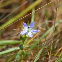 горечавка-осенний цветок :: Анна