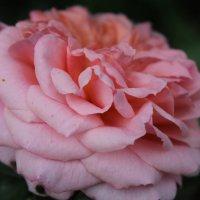 роза :: анастасия артемьева