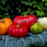 Пять сортов томатов. :: Анатолий. Chesnavik.