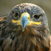 Взгляд орла. :: Владимир Кочнев