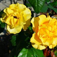 Желтые розы :: Милешкин Владимир Алексеевич