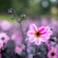 Цветы :: Астарта Драгнил