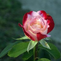 роза сентября :: Нади часоК
