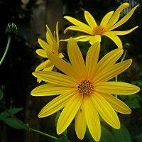 Цветы сеннтября :: Елена Семигина