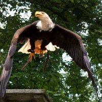 Американский белоголовый орлан :: Татьяна Кадочникова