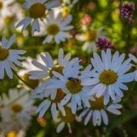 Полевые цветы подмосковья :: Андрей