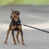 Собака-улыбака :) :: Алеся Пушнякова