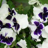 Цветы,словно бабочки! :: татьяна