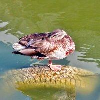 Почему спят утки(и не только утки) на одной ноге?! :: Наталья