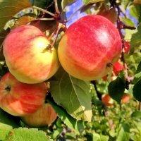Тёплым светом яблочки налились. :: Валентина ツ ღ✿ღ