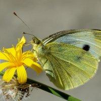 Вот и бабочка опять :: Алексей Глебов